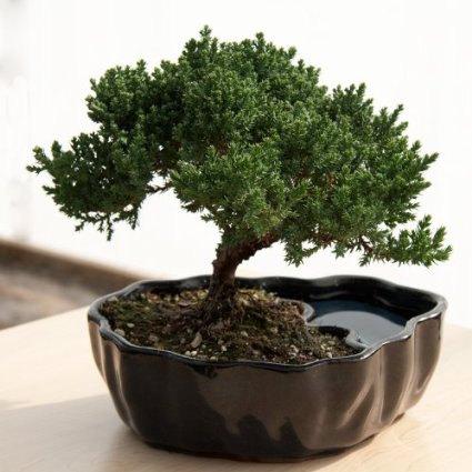 20 enchanting miniature bonsai decoration ideas. Black Bedroom Furniture Sets. Home Design Ideas