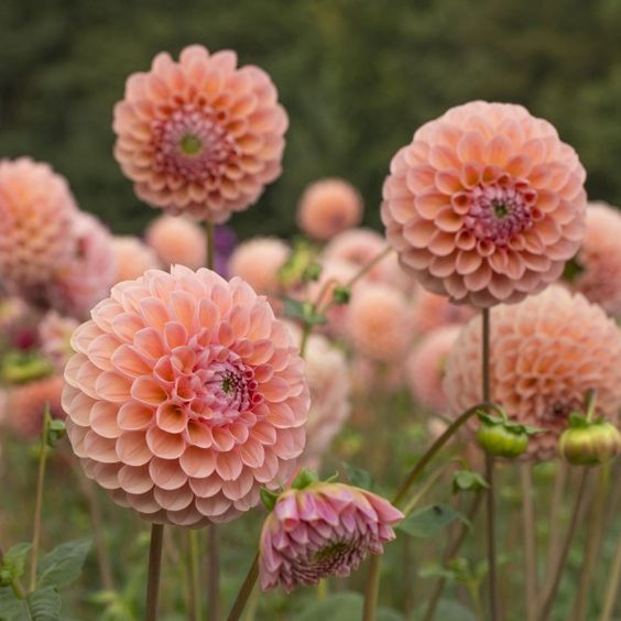 Summer's Most Wanted Flower - Dahlia - with Care Guide